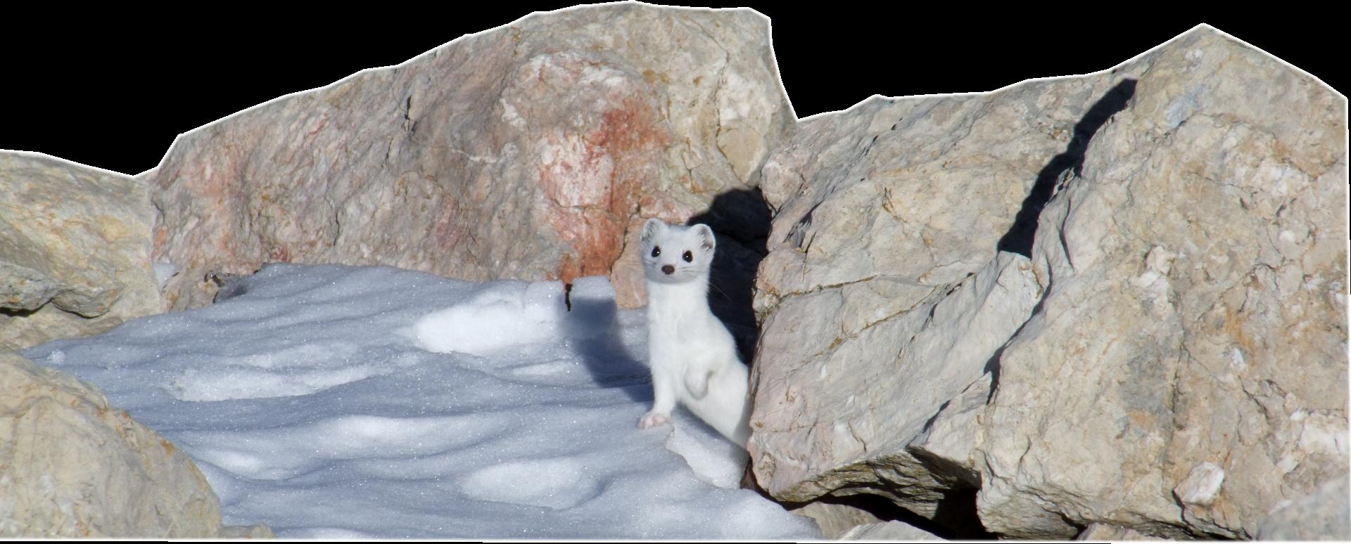 photo d'une hermine en robe blanche entre deux rochers