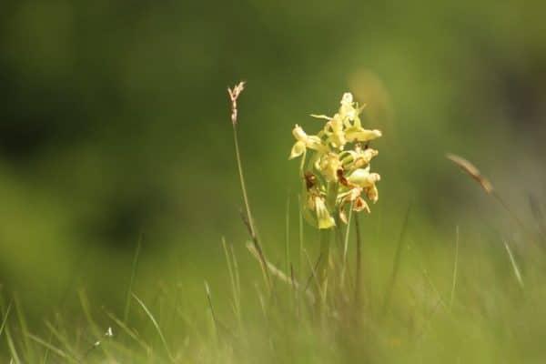 Orchidée Orchis sureau