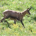 photo d'un chamois marchant dans une prairie alpine